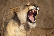 Lion yawning (Panthero leo), Phinda Game Reserve, South Africa
