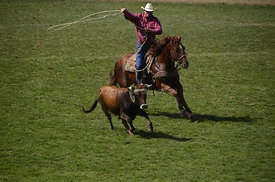 Cows, Cowboys and Horses Roping at Pendleton Roundup