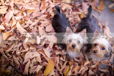 two small yorkie dogs together staring upward from leaves