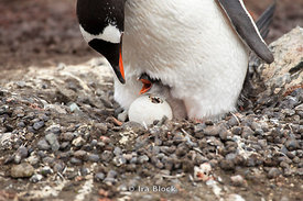 A gentoo penguin feeds its small chick at the Antarctic Peninsula.