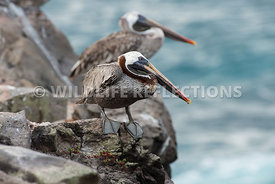 brown_pelican_rock_ledge-1