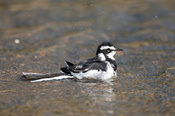 African pied wagtail (Motacilla aguimp) bathing, MalaMala Game Reserve, Greater Kruger National Park, South Africa
