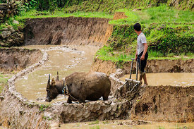 Ploughing Rice Paddy with Buffalo