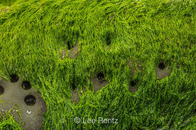 Piddock Clam Holes with Green Seaweed at Point of Arches