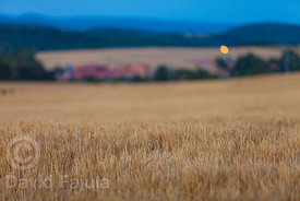 Barley fields at dusk
