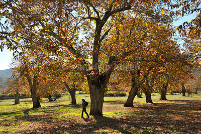 Chestnut trees in Autumn. São Mamede Natural Park, Portugal
