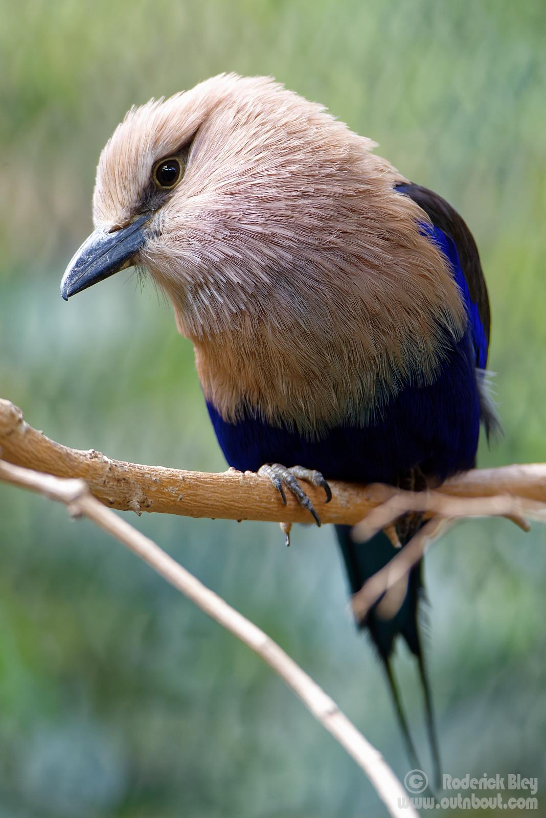 Cock Eyed Blue Belled Roller