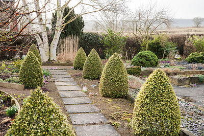 Slab and gravel path framed by cones of Buxus sempervirens 'Elegantissima' leads toward a white stemmed Betula mandshurica. C...
