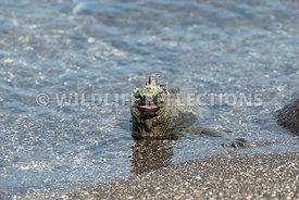 marine_iguana_waters_edge-1