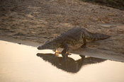 Nile Crocodile walking into the water, Crocodylus niloticus, Katavi National Park, Tanzania