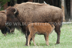 bison_cow_calf_nursing