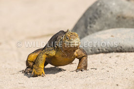 galapagos_land_iguana_north_seymour_walk-7