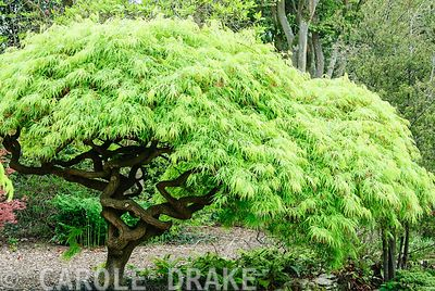 Acer palmatum var. dissectum. Sir Harold Hillier Gardens/Hampshire County Council, Romsey, Hants, UK