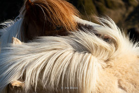 Closeup of an Icelandic horse on the Southern coast of Iceland.
