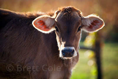 Beautiful cow, Amish country, Lancaster, Pennsylvania