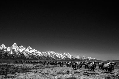 8530-Buffalos_of_Grand_Teton_NP_Wyoming_USA_2014_Laurent_Baheux