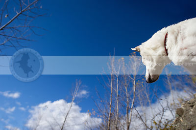 low angle photo of white jack russell against blue sky