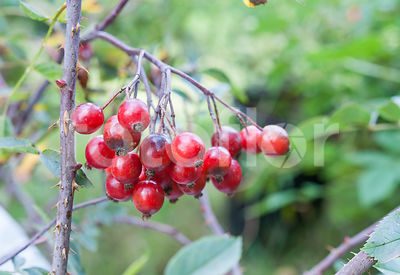 Rosa rubrosa carmentata, Rosier, fruits, rouge