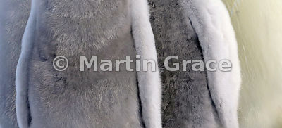 Emperor Penguin (Aptenodytes forsteri) chicks' downy coats close up, by Snow Hill Island, Weddell Sea, Antarctica