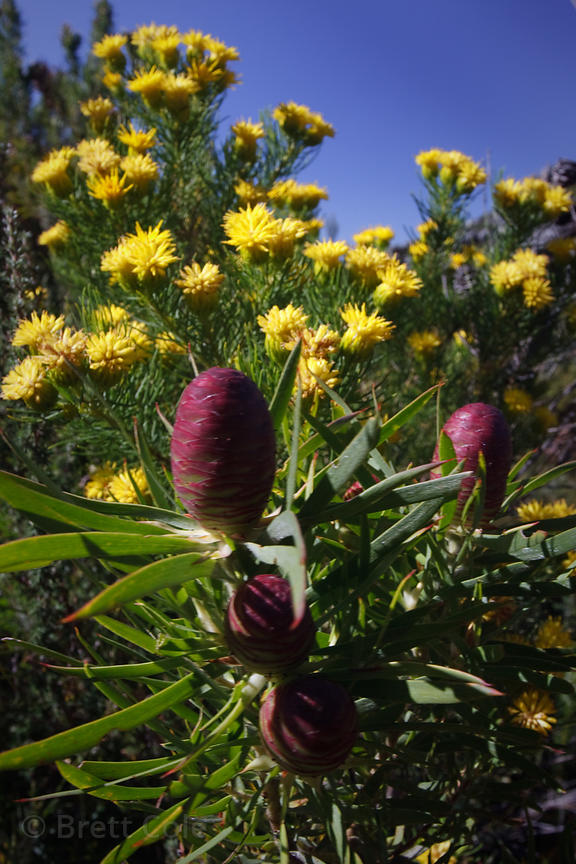 Protea fynbos in the Wildcliff Nature Reserve, South Africa