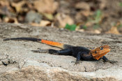 Agama lizard, Kidepo Valley National Park, Uganda