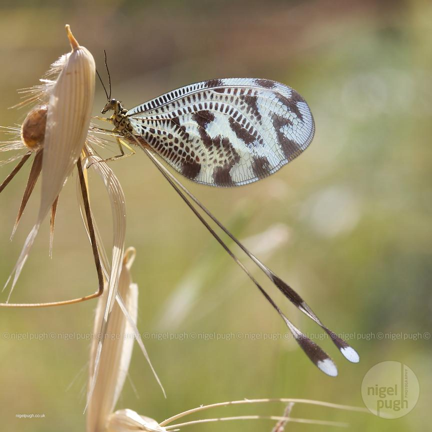 thread lacewing