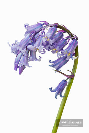 Common bluebell (hyacinthoides non-scripta) in Studio - Europe, United Kingdom, England, Cornwall, Porthcurno Beach - digital