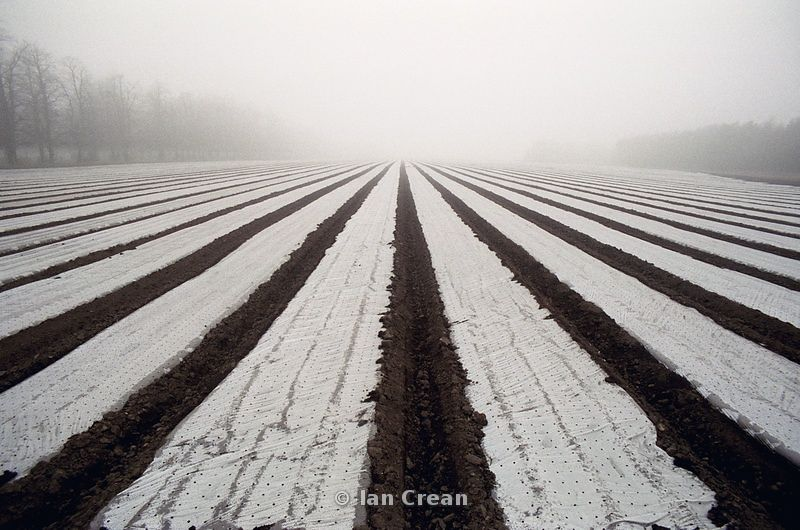 Plastic covers protect crop rows in winter, converging to misty horizon