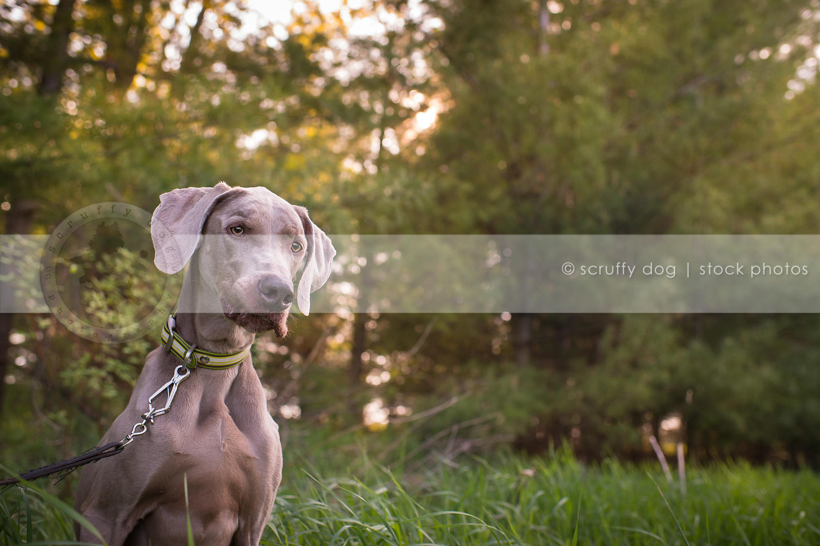 curious grey gundog with lip expression sitting in summer trees