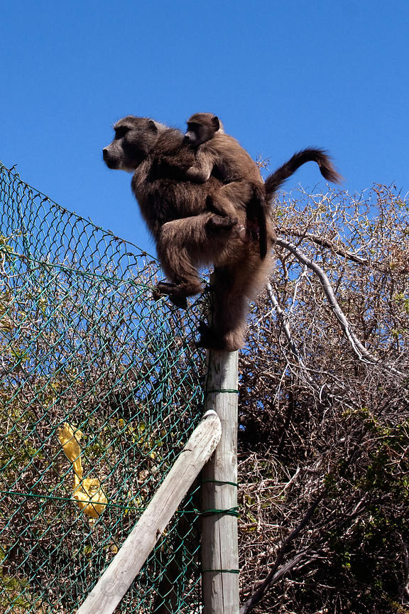 A female baboon from the Smitswinkel troop climbs a chain-link fence at Miller's Point with her baby on her back, Cape Penins...