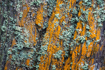 Lichen (Xanthoria sp.) on a redwood tree in Del Norte Coast Redwoods State Park, California
