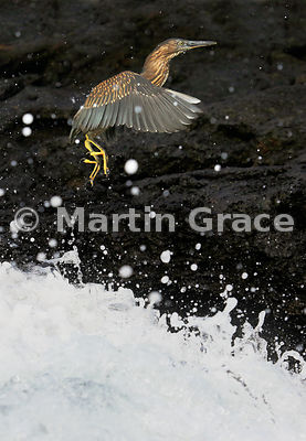 Juvenile Striated Heron (Butorides striatus) flying to escape a wave, Bahia Ballena, Santa Cruz, Galapagos
