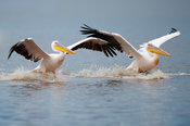 Great White Pelicans, Pelecanus onocrotalus, Lake Nakuru National Park, Kenya