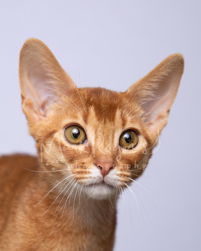 Close-up Studio Portrait of Red Amber Abyssinian Kitten