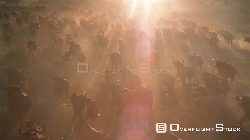 Slow motion aerial medium shot large herd of buffalo running across grassy plain at sunset sunrise Zimbabwe