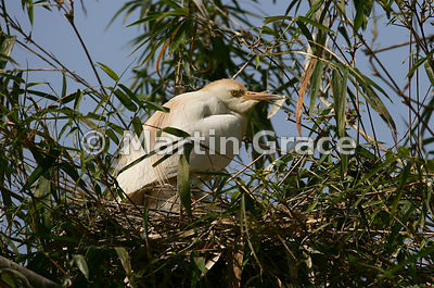 Cattle Egret (Bubulcus ibis) on a nest in the colony at Tsimbazaza Zoo, Antananarivo, Madagascar
