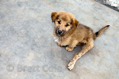 A puppy at the Tree of Life for Animals rescue center in Pushkar, India with lame hind legs after being run over by a car