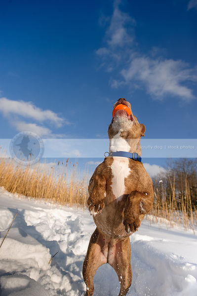 senior pitbull jumping catching orange ball in snowy field under blue sky