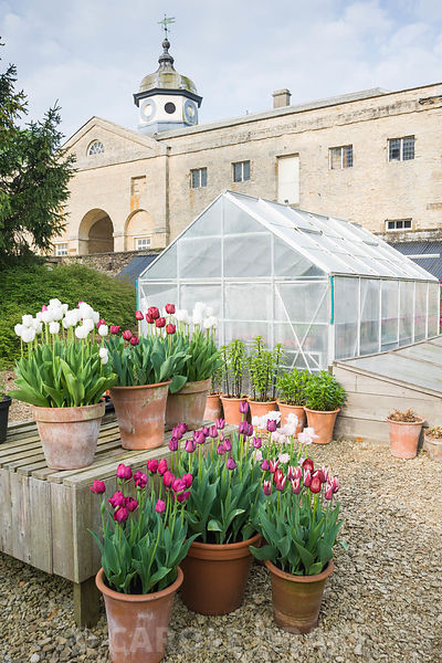 Pots of purple, red, pink and white tulips in the gardeners' yard include Tulipa 'Angelique', T. 'Abigail', and deep red T. '...
