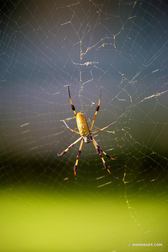 GOLDEN SILK ORB WEAVER SPIDER ST. FRANCISVILLE LOUISIANA COLOR