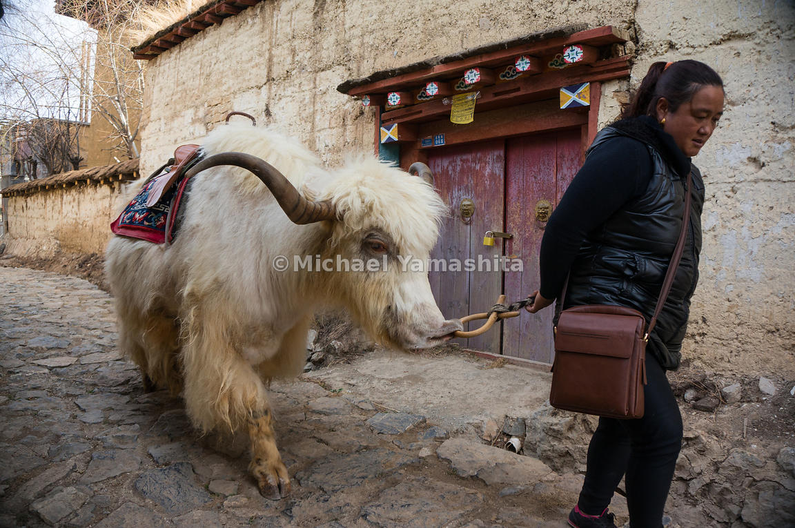 A yak follows its owner along a street in Shangri-La. Locals use yaks for transport and as a source of wool, milk, butter, an...