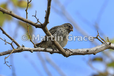 Small Ground Finch female (Geospiza fuliginosa), Santa Cruz, Galapagos Islands