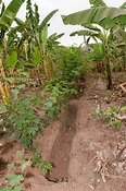 Irrigation ditch dug to help improve water retention and decrease soil erosion. Rwanda