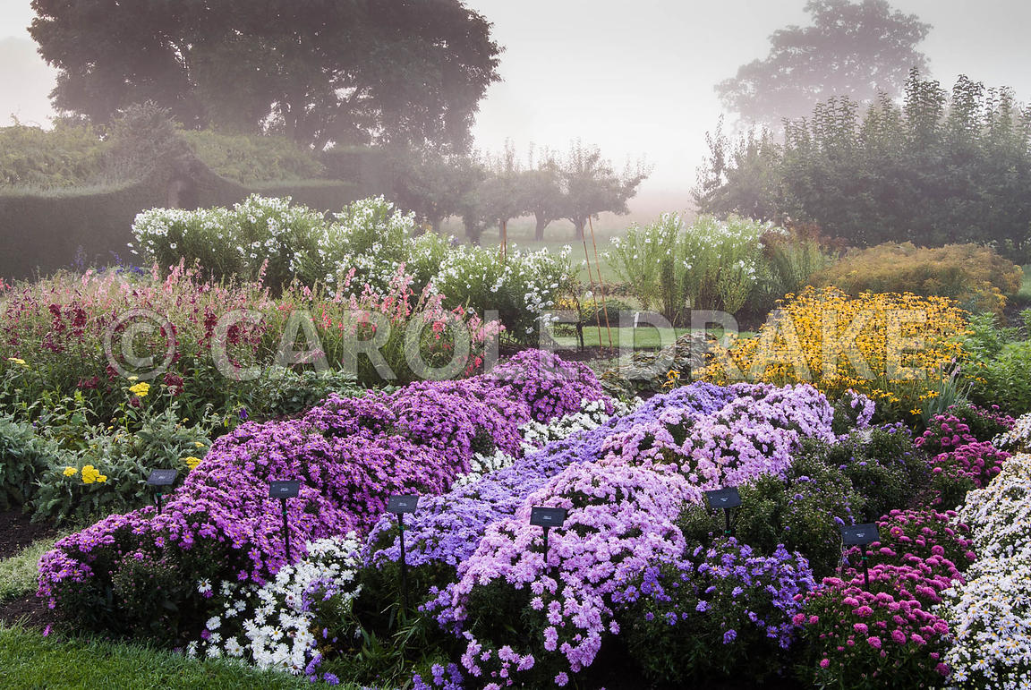 Stock beds full of asters, rudbeckias and penstemons, with yew hedging behind, on a misty autumn morning. Waterperry Gardens,...