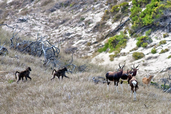 Very rare photo of chacma baboons from the Buffels Bay troop passing a group of Bontebok (Damaliscus pygargus dorcas), in the...