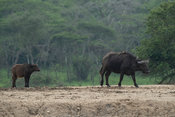 Cape buffalo, Syncerus caffer, Lake Mburo National Park, Uganda