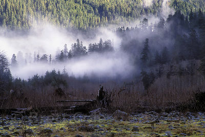 Fog rolls through old growth rainforest along the Hoh River, Olympic National Park, Washington