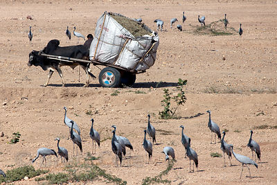 Oxcart passing Demoiselle Cranes (Anthropoides virgo) in Keechan, Rajasthan, India