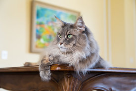 Silver Maine Coon Cat Lying on Table Looking to Side