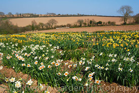 Ron Scamp's fields of historical daffodil varieties  including: Narcissus 'White Lady' (pre 1898) and Narcissus 'Spencer Trac...